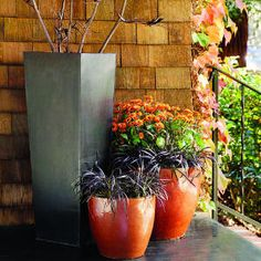Halloween in a pot! Spiderlike clumps of black mondo grass fringe a cluster of tall bronze mums with chocolate centers. They grow in glazed, rust orange pots on a front porch. Not just for Halloween! Thanksgiving, fall or anytime of the year actually! Container Design, Container Plants, Container Gardening, Container Flowers, Vegetable Gardening, Fall Planters, Garden Planters, Planter Pots, Black Mondo Grass