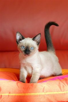 The Tonkinese cat: a cross between Siamese and Burmese breeds, this cutie is distinguished by its oval-shaped paws and large ears. Siamese Kittens, Baby Kittens, Cute Cats And Kittens, I Love Cats, Crazy Cats, Cool Cats, Kittens Cutest, Pretty Cats, Beautiful Cats