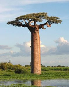 """Hotels-live.com/annuaire - Hotels-live.com/annuaire - The Avenue of the Baobabs Madagascar- With their unique shape and imposing stature the majestic baobab trees have been an icon of Madagascar's landscape for centuries unmovable symbols of the tropical island's luscious scenery. Often described as """"the upside down tree"""" due to its unusual shape -- the tree's branches look like roots sticking up in the air. Communities in Madagascar one of the poorest countries in the world have long been…"""