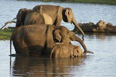 Trei ani în Sri Lanka – Featured, World Sri Lanka, Elephant, Places To Visit, World, Animals, Animales, Animaux, Elephants, Animal