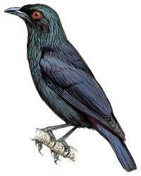 Singing Starling (Aplonis cantoroides)