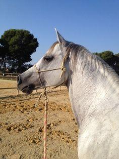 HE4449949 - CABALLO ARABE JINETES EXPERTOS Horses, Animals, Horses For Sale, Naturaleza, Animales, Animaux, Animal, Animais, Horse