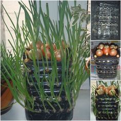 How to Grow Onions Vertically On The Windowsill | www.FabArtDIY.com LIKE Us on Facebook ==> https://www.facebook.com/FabArtDIY