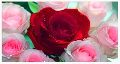 Pink Bed of Roses by ~corvdplaat on deviantART