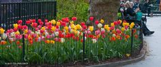 Tulip Big Ups ® | Colorblends of Tulips Bulbs for Sale | COLORBLENDS