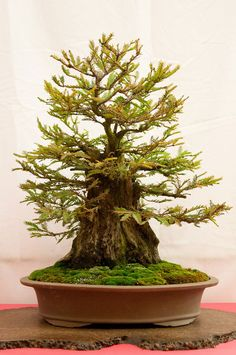 Bonsai árbol de secoya