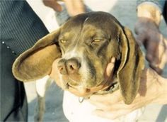 """This breed is a Turkish Pointer, and is readily identified by its """"split-nose"""".- rare breed"""