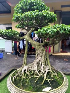 .I so want to put a fairy tree house in this Bonsai!!