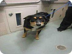 Denver, CO - Australian Shepherd/Bernese Mountain Dog Mix. Meet ZEUS, a dog for adoption. http://www.adoptapet.com/pet/16569242-denver-colorado-australian-shepherd-mix