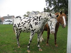 Spotted Horse and Friend