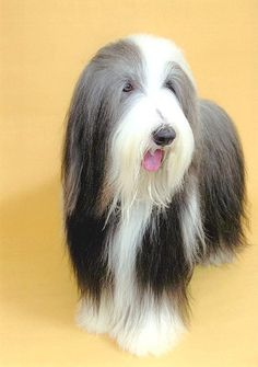 Bearded Collie #Dog #Puppy #Hound #Chien #Perro #hond #hund #Cane #Koira #Dogs #Puppies #Pup #PoochCollie All Breeds Of Dogs, Dog Breeds, Small Puppies, Dogs And Puppies, Dog Bearding, Bearded Collie, Crazy Dog Lady, Herding Dogs, Kinds Of Dogs