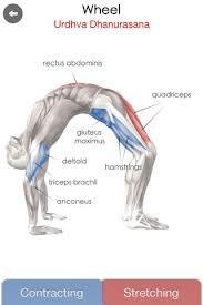 28 best yoga anatomy images  yoga muscles yoga poses
