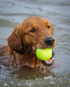 beautiful golden with ball
