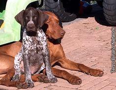 AREZZO: SMARRITI DUE CANI, FRIGO (MARRONE) E OTTO (PEZZATO) http://www.terzobinarionetwork.com/2015/12/arezzo-smarriti-due-cani-frigo-marrone.html