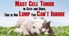 A mast cell tumor, which forms when there's an irregularly high number of mast cells in your pet's body, is dangerous because it may lead to cancer. http://healthypets.mercola.com/sites/healthypets/archive/2012/03/05/common-cancer-for-pet-dogs-and-cats-mast-cell-tumors.aspx
