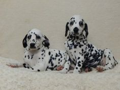 Puppies for sale at DogCatandCo puppies for sale, kennel, pups for sale webshop pups te koop