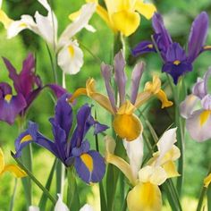 Dutch Iris Mixed (Iris hollandica) Mix - 25 Pack