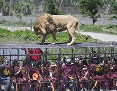 आप अक्सर जू और जंगल सफारी करने जाते होंगे, लेकिन शेर जैसे जंगली जानवर को बिल्कुल अपने पास देखक