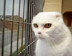 An animal rescue centre is struggling to rehome this cat, because of its looks. Workers at The Blue Cross in Southampton say visitors have been scared off by the white cat's looks. The abandoned cat, named Charlie, had to have its ears and nose removed after suffering from skin cancer. Vets say Charlie's pale skin left him at risk of developing the potentially fatal disease.