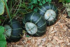 'Bonbon' buttercup squash is productive, sweet, and delicious.