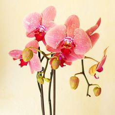 ROLY0942- Orchidée