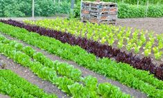 rows of green, red lettuce and celery growing in a vegetable garden,. Lettuce Seeds, Greenhouse Growing, Greenhouse Gardening, Large Plants, Cool Plants, Starting Plants From Seeds, Organic Gardening Tips, Vegetable Gardening