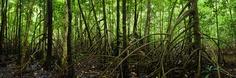 http://cdn.lightgalleries.net/4bd5ec0e49379/images/NQ0906442P-Daintree-Mangroves-1.jpg