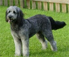 silver goldendoodles | ... is a beautiful silver Goldendoodle. Photo courtesy of Aspen Kennels