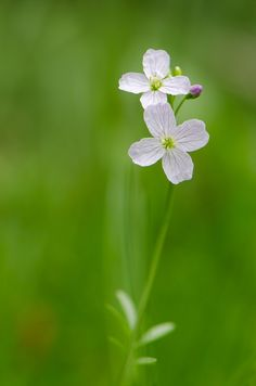 Cardamine Pratensis Cardamine symbolises Paternal error in the Victorian Language of Flowers.