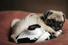 pug and camera, I want this one, both actually