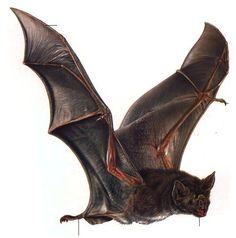 jeanporter - Bats (photos, images, clipart)