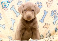 labrador retriever puppies This very sweet and social Silver Labrador Retriever puppy is family raised with children and will make an extraordinary family pet! This puppy is Silver Labrador Retriever, Retriever Puppy, Funny Animal Pictures, Funny Animals, Cute Animals, Panther, Puppies For Sale, Dog Lovers, Children
