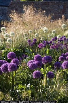 Allium heaven - with grass in background. Nice and believe alliums are rabbit proof.