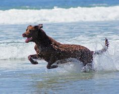 Chesapeake Bay Retriever. They love the water as much as we do!