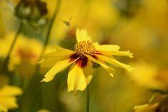 fiori da giardino giardino fiorito : ... un giardino o balcone fiorito. #coreopsis #estate #giallo #fiorito