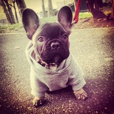 ~frenchie out for a walk in his hoodie~