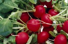 Why Did My Radish Wilt After I Picked It? by Patricia H. Reed, Demand Media