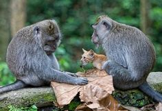 Monkey Adopts Kitten By Anne YoungA wild monkey has stunned animal lovers after it adopted an abandoned kitten and cared for it as his own. The young long-tailed macaque monkey was spotted in a forest protectively nuzzling and grooming the ginger kitten, making sure no harm came to it.