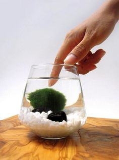 """Marimo Pet in the Arctic Sea Great new """"pet"""" for people with green fingers."""