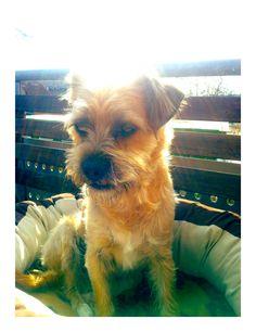 Border Terrier Miko