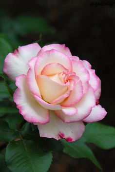 Floribunda Rose: Rosa 'Honoka' (Japan, 2004)