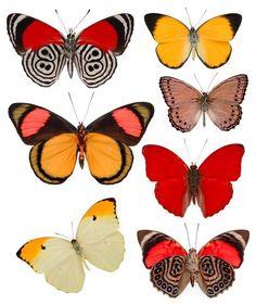 butterflies Petit Cabinet de Curiosites