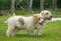 Image result for lucas terrier