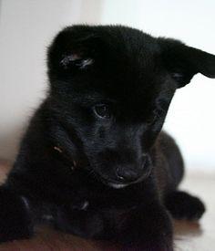 Black Norwegian Elkhound puppy