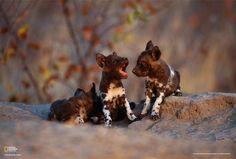 Perros salvajes de África