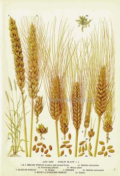 Wheat Cereal Grain Food Chart Botanical Lithograph Illustration For Your Vintage Kitchen 3 Vintage Botanical Prints, Botanical Drawings, Botanical Art, Botanical Illustration, Vintage Prints, Illustration Botanique, Plant Wall, Illustrations, Grains