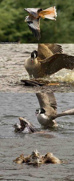 canada goose vs snow geese