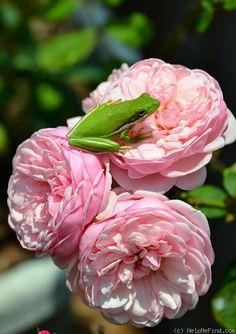 Rosa 'St Ethelburga' (U.K., c. 2003)