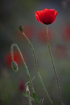 Red Spring - .