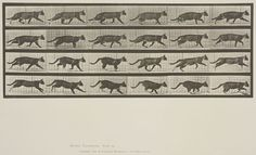 Eadweard Muybridge (American, b. England, 1830-1904)  Plate 718 from Animal Locomotion, 1887  Cat trotting, changing to gallop.   Collotype on paper, 13-3/4 x 19-9/16 in.   Gift of Mrs. Jill Tane.  1994.8.37